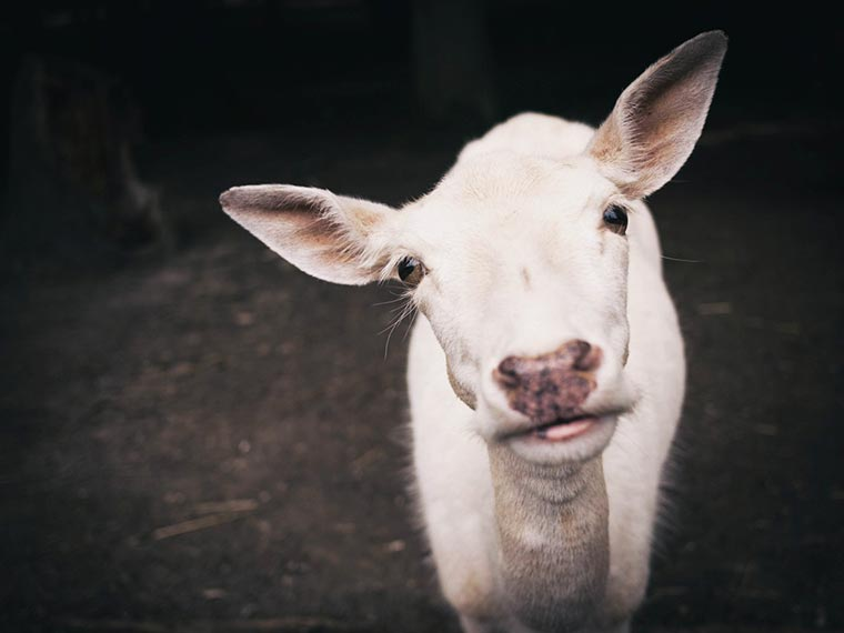 cute looking goat