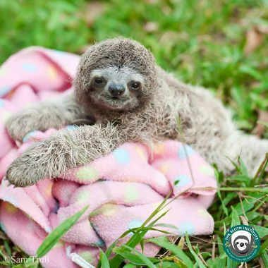 tiny baby bradypus sloth lying on a pink blanket on the grass
